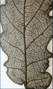 Fisiografia di una foglia
